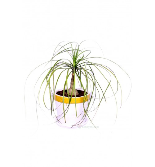PONYTAIL NOLINA PALM GOLDEN WHITE PLANTER INDOOR